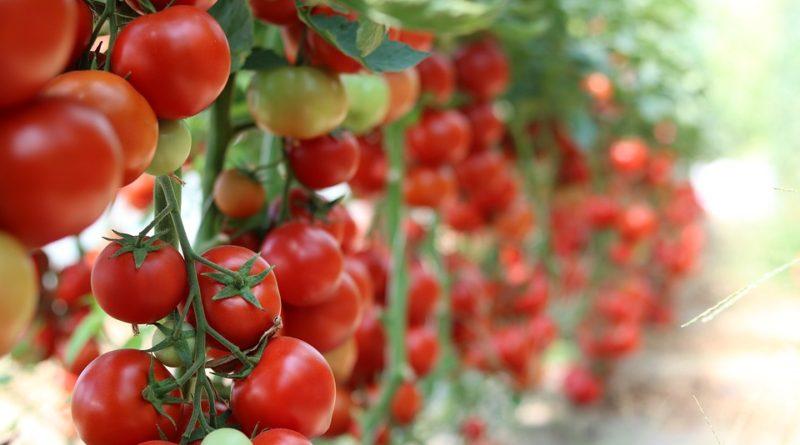 Škůdci zeleniny