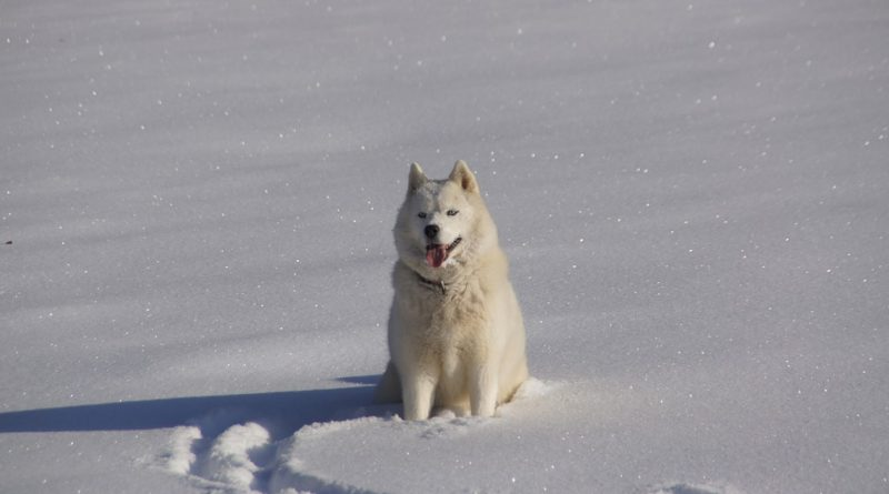 Jaká psí plemena milují zimu a jaká naopak nikoli?